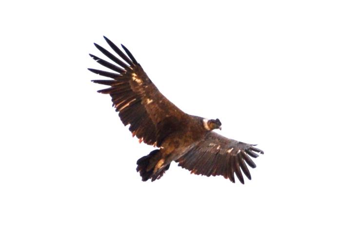 Patagonian eagle