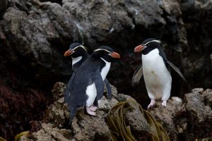 Galapagos of the Southern Ocean: Australia & NZ 's Sub-antarctic Islands - 30 Nov -11 Dec & 11 - 23 DEC 2020 from AUD$11,348 20