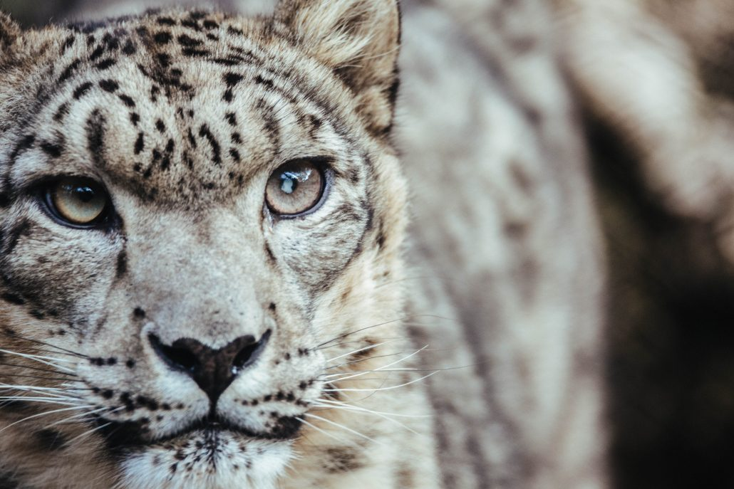 INDIA: IN SEARCH OF SNOW LEOPARDS - 15 Days (16 - 30 January 2020) from  $USD7,500 - Peregrine, Summit Travel - Perth Adventure Travel Centre