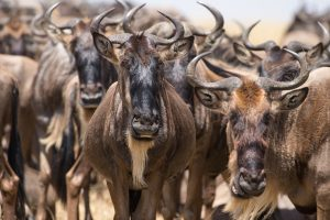 SOLD OUT! Ultimate East Africa Safari - Kenya, Uganda & Rwanda escorted by Anna Bulleid 26 July - 18 August 2020 8