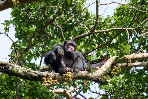 SOLD OUT! Ultimate East Africa Safari - Kenya, Uganda & Rwanda escorted by Anna Bulleid 26 July - 18 August 2020 20