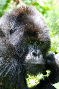 SOLD OUT! Ultimate East Africa Safari - Kenya, Uganda & Rwanda escorted by Anna Bulleid 26 July - 18 August 2020 26