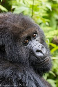 SOLD OUT! Ultimate East Africa Safari - Kenya, Uganda & Rwanda escorted by Anna Bulleid 26 July - 18 August 2020 32