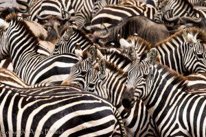 SOLD OUT! Ultimate East Africa Safari - Kenya, Uganda & Rwanda escorted by Anna Bulleid 26 July - 18 August 2020 34