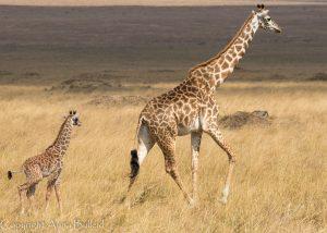 SOLD OUT! Ultimate East Africa Safari - Kenya, Uganda & Rwanda escorted by Anna Bulleid 26 July - 18 August 2020 35