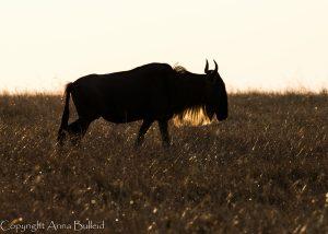 SOLD OUT! Ultimate East Africa Safari - Kenya, Uganda & Rwanda escorted by Anna Bulleid 26 July - 18 August 2020 36
